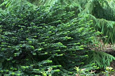 Minden pictures stock photos cephalotaxus or cephalotaxu for Duke gardens plum yew
