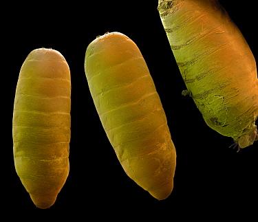 Fruit fly pupa - photo#43