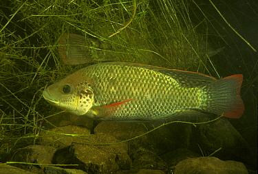 Картинки по запросу oreochromis placidus
