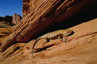 Desert Spiny Lizard (Sceloporus magister) sunning on rock, Monument Valley National Monument, Arizona  -  Jim Brandenburg
