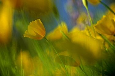 Mexican Golden Poppy (Eschscholzia glyptosperma) field, Organ Pipe Cactus National Monument, Arizona  -  Jim Brandenburg