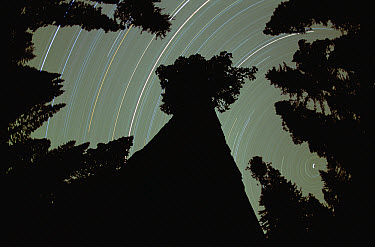 Giant Sequoia (Sequoiadendron giganteum) and star trails in King's Canyon National Park, California  -  Jim Brandenburg