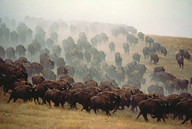 American Bison (Bison bison) herd stampeding, South Dakota  -  Jim Brandenburg