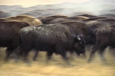 American Bison (Bison bison) herd stampeding, South Dakota  -  Jim Brandenburg
