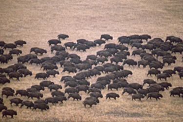 American Bison (Bison bison) herd moving across prairie, Wind Cave National Park, South Dakota  -  Jim Brandenburg