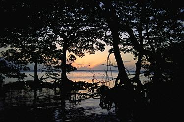 Mangrove (Avicennia sp) trees at sunset, Great White Heron National Wildlife Refuge, Florida  -  Jim Brandenburg