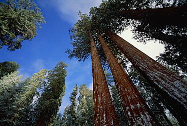 Giant Sequoia (Sequoiadendron giganteum) trees with dusting of snow, King's Canyon National Park, California  -  Jim Brandenburg