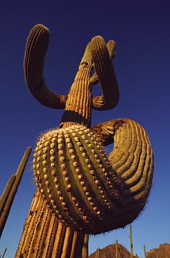 Saguaro (Carnegiea gigantea) cactus, Arizona  -  Jim Brandenburg