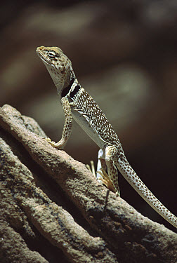 Collared Lizard (Crotaphytus collaris) holding itself up off of hot rocks, Mojave Desert, California  -  Larry Minden