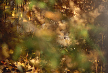 Timber Wolf (Canis lupus) looking through foliage, Superior National Forest, Minnesota  -  Jim Brandenburg