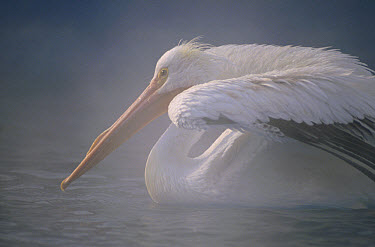 American White Pelican (Pelecanus erythrorhynchos) stretching its wings on a misty lake, North America  -  Jim Brandenburg