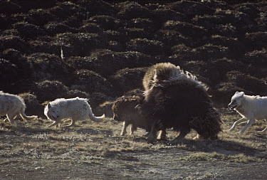 Arctic Wolf (Canis lupus) pack hunting baby Muskox (Ovibos moschatus), Ellesmere Island, Nunavut, Canada  -  Jim Brandenburg