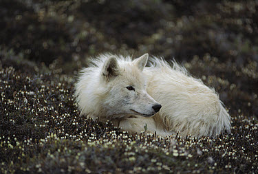 Arctic Wolf (Canis lupus) juvenile male named Scruffy curled up on flowering tundra, Ellesmere Island, Nunavut, Canada  -  Jim Brandenburg