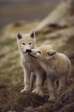 Arctic Wolf (Canis lupus) pups nuzzling one another, Ellesmere Island, Nunavut, Canada  -  Jim Brandenburg