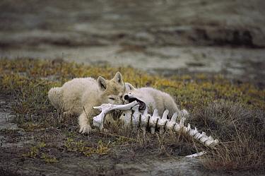 Arctic Wolf (Canis lupus) pups gnawing on Muskox bones, Ellesmere Island, Nunavut, Canada  -  Jim Brandenburg