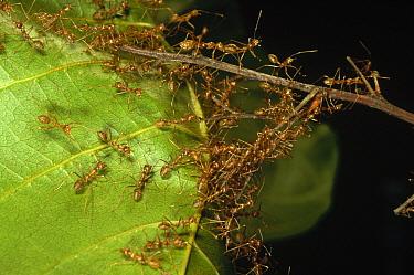 Weaver Ant (Oecophylla longinoda) colony climbing over leaves to reach new feeding grounds, Papua New Guinea  -  Mark Moffett