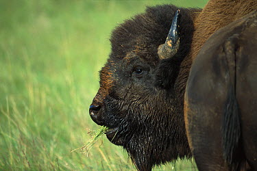 American Bison (Bison bison) grazing on prairie, South Dakota  -  Jim Brandenburg