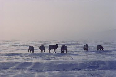 Arctic Wolf (Canis lupus) pack of six on wind-swept ice, Ellesmere Island, Nunavut, Canada  -  Jim Brandenburg