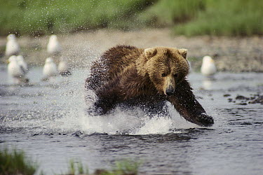 Grizzly Bear (Ursus arctos horribilis) trying to catch salmon in river, Alaska  -  Michio Hoshino