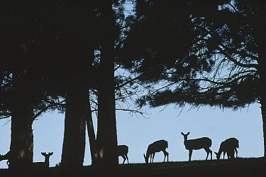 White-tailed Deer (Odocoileus virginianus) herd grazing on hillside, Black Hills, South Dakota  -  Jim Brandenburg