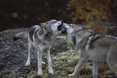 Timber Wolf (Canis lupus) pair greeting each other, Minnesota  -  Jim Brandenburg