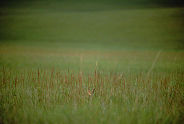 Swift Fox (Vulpes velox) in prairie, South Dakota  -  Jim Brandenburg