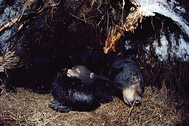 Black Bear (Ursus americanus) mother hibernating with cub, Minnesota  -  Jim Brandenburg