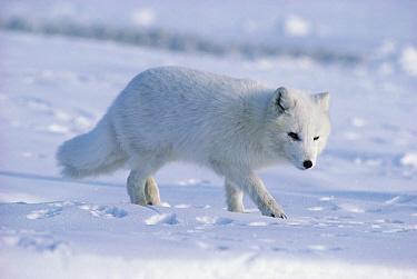 Arctic Fox (Alopex lagopus) portrait, Ellesmere Island, Nunavut, Canada  -  Jim Brandenburg