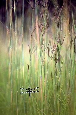 Twelve-spotted Skimmer (Libellula pulchella) dragonfly on Big Bluestem (Schizachyrium scoparium) grass, Wisconsin  -  Jim Brandenburg