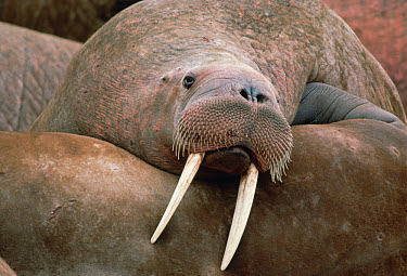 Pacific Walrus (Odobenus rosmarus divergens) at rest in colony, Alaska  -  Michio Hoshino