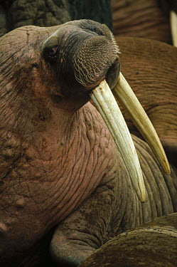 Pacific Walrus (Odobenus rosmarus divergens) portrait in large colony, Alaska  -  Michio Hoshino
