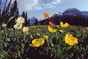 Wildflowers, Rocky Mountains, Banff and Jasper National Park Area, Alberta, Canada  -  Jim Brandenburg