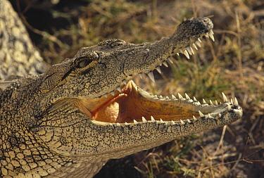 Nile Crocodile (Crocodylus niloticus) thermoregulating, Namibia  -  Jim Brandenburg