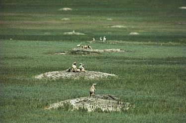 Black-tailed Prairie Dog (Cynomys ludovicianus) town with animals near burrows, South Dakota  -  Jim Brandenburg