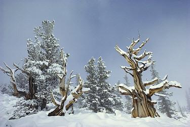 Great Basin Bristlecone Pine (Pinus longaeva) trees in snow, Great Basin National Park, Nevada  -  Jim Brandenburg