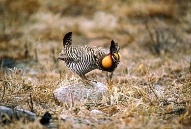 Greater Prairie Chicken (Tympanuchus cupido) male booming in courtship display, South Dakota  -  Jim Brandenburg