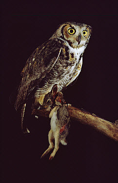 Great Horned Owl (Bubo virginianus) with rabbit it has captured, Minnesota  -  Jim Brandenburg