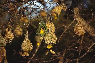 Lesser Masked Weaver (Ploceus intermedius) males building nests, South Africa  -  Jim Brandenburg