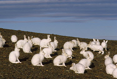 Arctic Hare (Lepus arcticus) group gathering in summer, Ellesmere Island, Nunavut, Canada  -  Jim Brandenburg