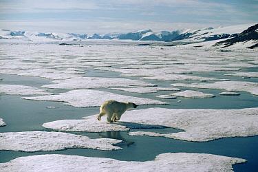 Polar Bear (Ursus maritimus) running across ice, Ellesmere Island, Nunavut, Canada  -  Jim Brandenburg
