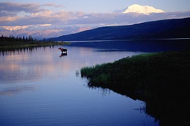 Alaska Moose (Alces alces gigas) at Wonder Lake, Mt Denali in background, Denali National Park and Preserve, Alaska  -  Michio Hoshino