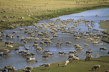 Caribou (Rangifer tarandus) herd migrating in summer, Arctic National Wildlife Refuge, Alaska  -  Michio Hoshino