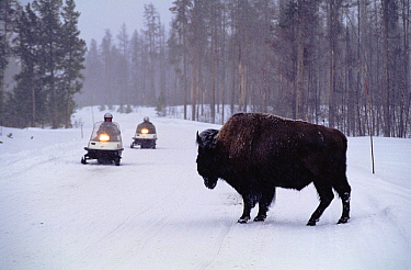American Bison (Bison bison) and snowmobiles, Yellowstone National Park, Wyoming