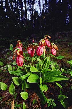 Stemless Lady's Slipper (Cypripedium acaule) orchid cluster growing on forest floor, Minnesota  -  Jim Brandenburg