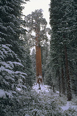 Giant Sequoia (Sequoiadendron giganteum) forest in winter, King's Canyon National Park, California  -  Jim Brandenburg