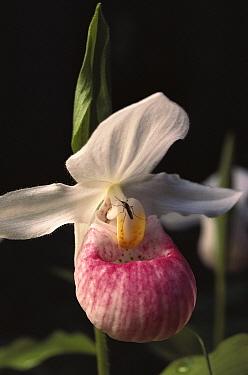 Showy Lady's Slipper (Cypripedium reginae) orchid, Northwoods, Minnesota  -  Jim Brandenburg