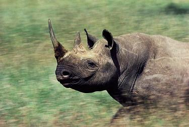 Black Rhinoceros (Diceros bicornis) charging, Namibia  -  Jim Brandenburg