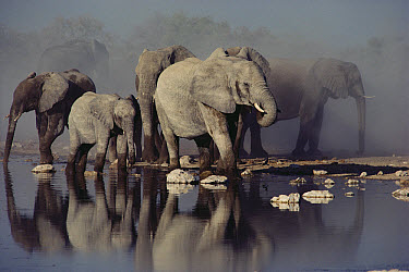 African Elephant (Loxodonta africana) herd at waterhole, Etosha National Park, Namibia  -  Jim Brandenburg