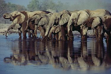 African Elephant (Loxodonta africana) herd drinking at waterhole, Etosha National Park, Namibia  -  Jim Brandenburg