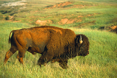 American Bison (Bison bison) male walking through tallgrass prairie, South Dakota  -  Jim Brandenburg